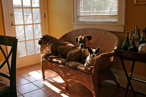 The dogs - Ella, Louis & Sister. These urban dogs are glad to be home after a 2 month evacuation to a farm after Hurricane Katrina.