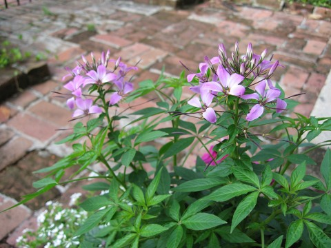 Dwarf Cleome. It better be dwarf!