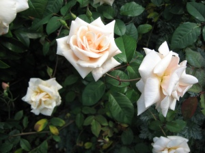 Safrano Rose Blooms