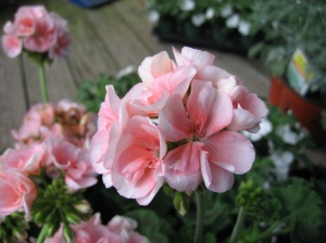 On my weekend to-do list... geraniums for the front porch (while it's still cool)