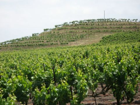 A terraced vineyard (very rare)